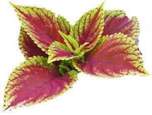 feuilles de forskoline